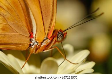 Julia butterfly close up macro shot