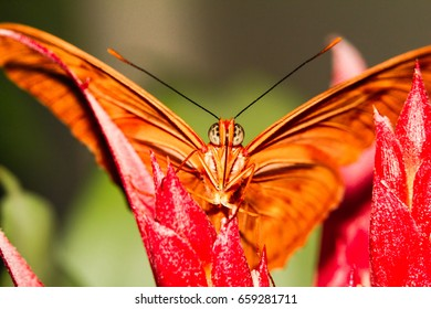 Julia butterfly close up macro shot julia butterfly feeding, macro, close up, red flowers, orange wing, insect, nature, nature background