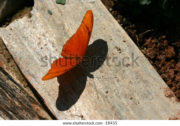 A Julia butterfly and its shadow