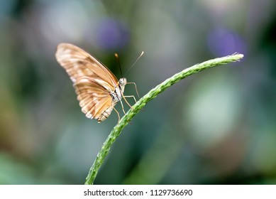 Julia or Dryas julia butterfly perched on a plant