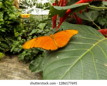 Julia (Dryas iulia) butterfly on leaf