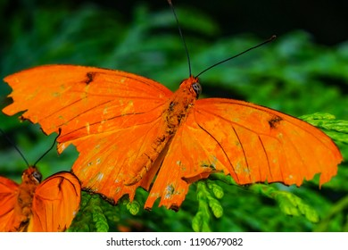 Julia Heliconian Dryas Julia Orange Butterfly Seattle Washington