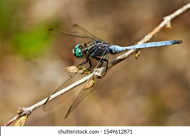 The Julia Skimmer is a common Dragonfly found throughout much of Africa and one of the most often seen insect predators around waterfrontage and wet grasslands