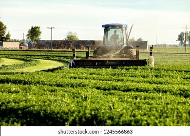 July 1, 2013 Idaho Falls, Idaho, USA Alfalfa hay, being cut and windrowed,  for drying in the fertile farm fields of Idaho.
