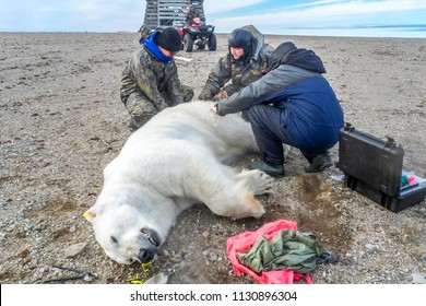 July 12, 2011, Novaya Zemlya Archipelago, Arctic: Scientists from a scientific expedition make measurements and marking of a sleeping polar bear.