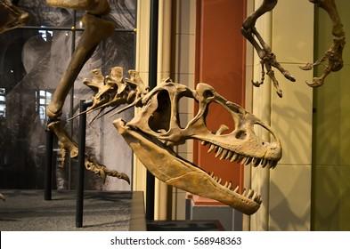 July 14, 2015: Allosaurus skull in the Berlin Natural History Museum (Museum für Naturkunde), Germany