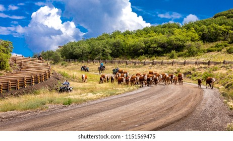 JULY 14, 2018, RIDGWAY, COLORADO, USA -Cattle Drive down County Road 58P, Last Dollar Road, Hastings Mesa, between Telluride and Ridgway Colorado