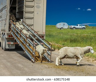 July 17, 2016 - Sheep ranchers unload sheep on Hastings Mesa near Ridgway, Colorado from truck