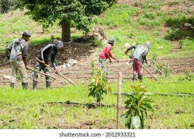 July 2, 2021 Naranjal, Dominican Republic. dramatic image of Haitian farm workers cultivating a field of young avocado trees in the caribbean mountains.