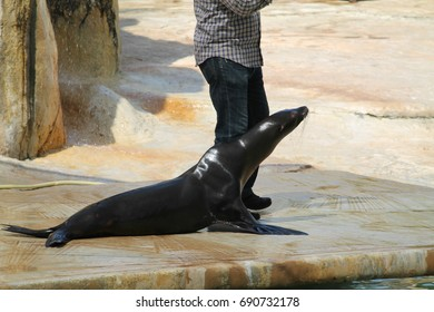 """July 20, 2017. Zoo """"Friguia"""". Tunisia. Show of fur seals. This a open event no  press credentials required."""
