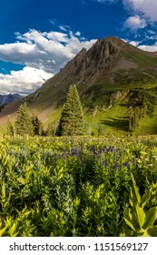 July 20, 2018 - OURAY COLORADO USA - Yankee Boy Basin mountain flowers in bloom, outside of Ouray Colorado