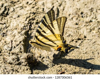 July Scarce swallowtail, Iphiclides podalirius butterfly in the thick mud of a riverbank
