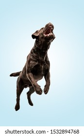 Jump high as he can. Chocolate labrador retriever dog in the studio. Indoor shot of young pet. Funny puppy over blue background.