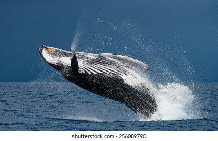Jump humpback whale. Madagascar. The water area of the island of St. Mary.