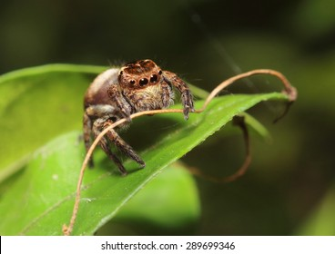 Jump spider from Thailand