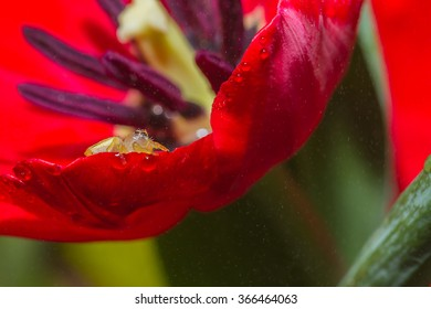 jumper spider on red tulip flower with water drop