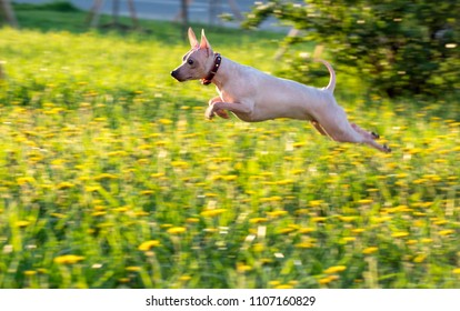 jumping American Hairless Terrier on green lawn with dandelions background