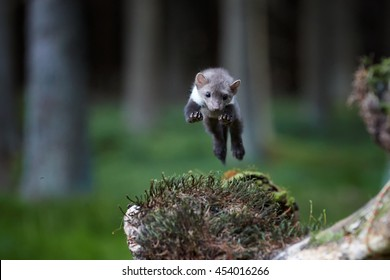 Jumping beech marten from front view. Small, agile predator, stone marten, Martes foina, in typical european forest environment. Study of jump.