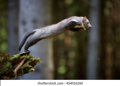 Jumping beech marten. Small, agile predator, stone marten, Martes foina, in typical european forest environment. Study of jump.