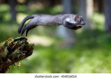Jumping beech marten. Small opportunistic predator, stone marten, Martes foina, in typical european forest environment. Study of jump.