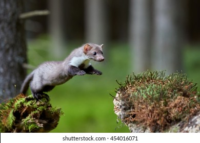 Jumping beech marten. Small predator, stone marten, Martes foina, in typical european forest environment.