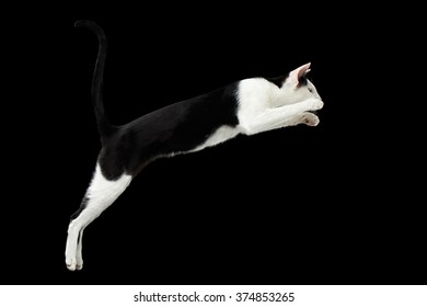 Jumping Black and White Oriental cat Isolated on Black Background