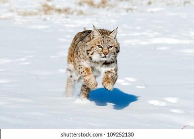 Jumping Bobcat