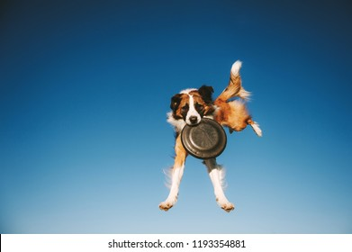 Jumping Border Collie dog is catching frisbee disc in the air on blue sky backgroud