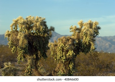 Jumping Cholla Cactus, with mountains out of focus behind it.