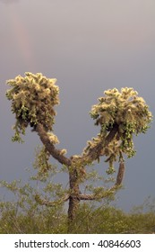 Jumping Cholla Cactus with ominous looking clouds behind it, seen in a vertical orientation