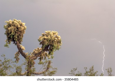 Jumping Cholla cactus with a strike of lightning.