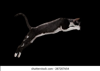 Jumping Cornish Rex Cat Isolated on Black Background