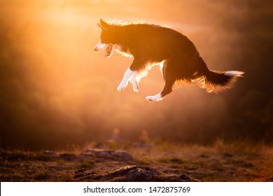 Jumping dog border collie and sunset