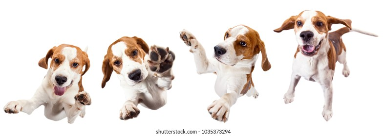 Jumping dog isolated on a white background .Purebred adult beagle.