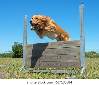 jumping dog in a training of obedience