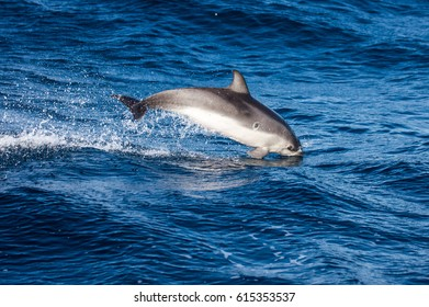 jumping dolphin central, isolated on the blue sea background