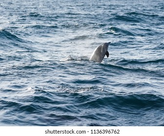 Jumping Dolphin in the Ocean