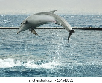 Jumping dolphin in Red sea, Eilat, Israel