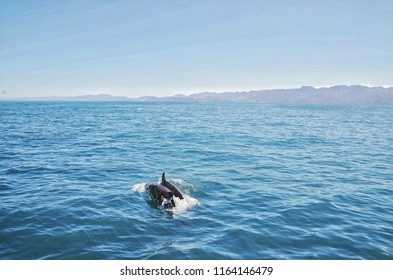 Jumping dolphins in Kaikoura. Kaikoura is the famous city inNew Zealand, there is lot of dolphins and whales.