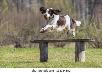 jumping english springer spaniel