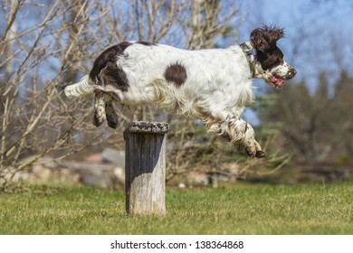 jumping english springer spaniel