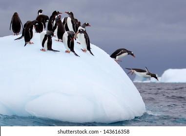 Jumping Gentoo Penguins on Iceberg