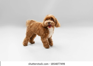 Jumping high. Maltipu little dog is posing. Cute playful braun doggy or pet playing on white studio background. Concept of motion, action, movement, pets love. Looks happy, delighted, funny. - Shutterstock ID 1854877498