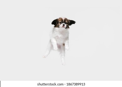 Jumping high. Papillon Fallen little dog is posing. Cute playful braun doggy or pet playing on white studio background. Concept of motion, action, movement, pets love. Looks happy, delighted, funny. - Shutterstock ID 1867389913
