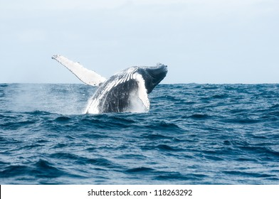 jumping humpback whale out of the Ocean