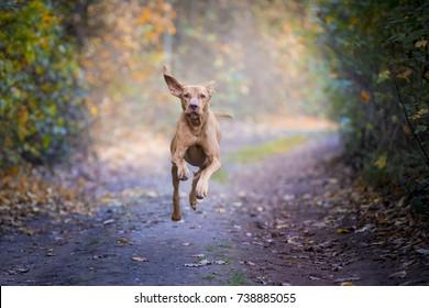 Jumping hunter dog looks like flying animal