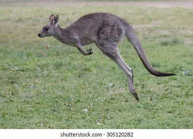 Jumping kangaroo