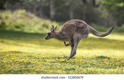 Jumping Kangaroo at a meadow with yellow flowers