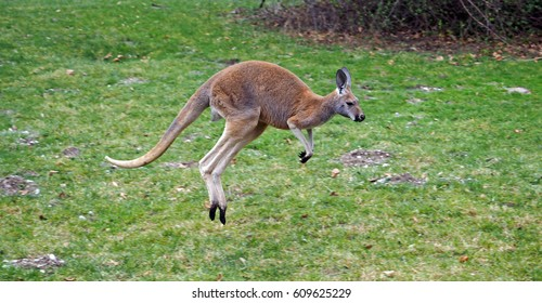 A jumping kangaroo in portrait