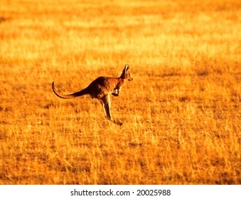 Jumping kangaroo, Wilpena pound, Australia